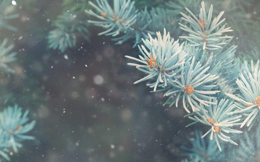 Late December Truckee-Tahoe Christmas Trees